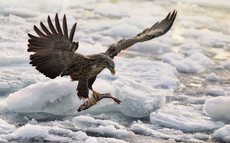 The Eagle and Fish Catch