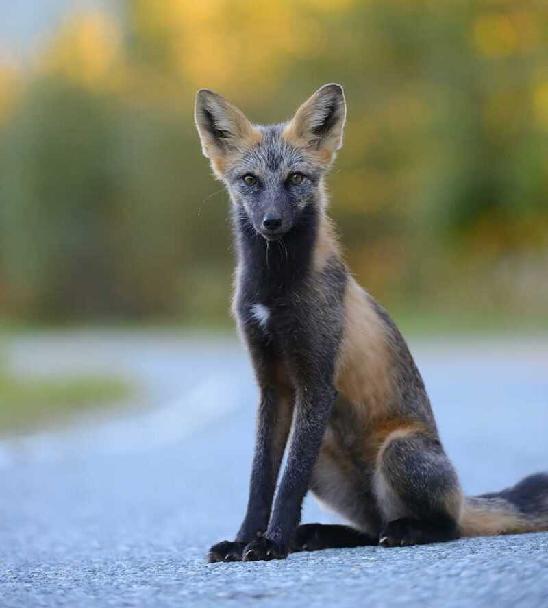 fox-species-photography-7-1