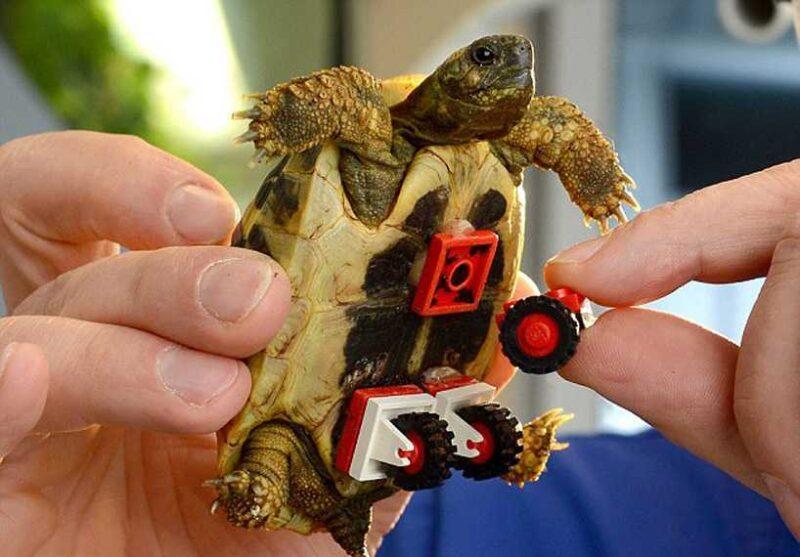 tortoise-regains-mobility-lego-wheelchair-01