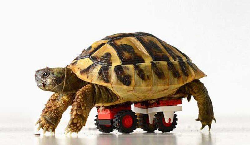 tortoise-regains-mobility-lego-wheelchair-02