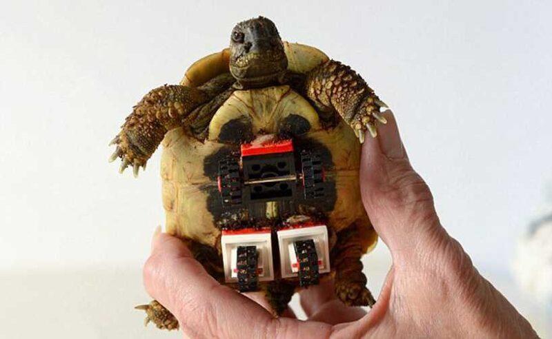 tortoise-regains-mobility-lego-wheelchair-03