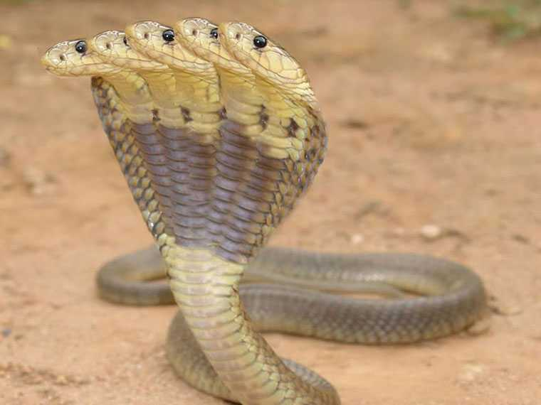 Oh My God! Real Five Headed Snakes Founded On Mysterious Place 1