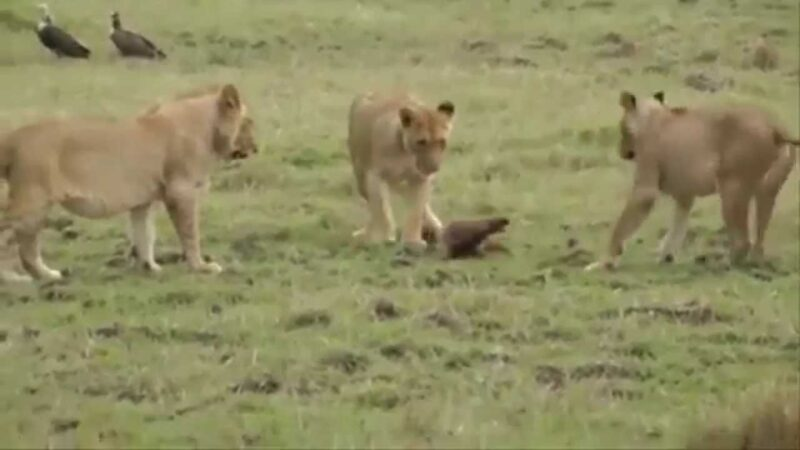 Little Mongoose Real Fight for Life Middle of 3 Lions 1