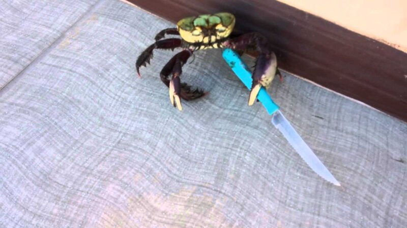 Knife-wielding crab proves it's more than just claws - SliControl.Com