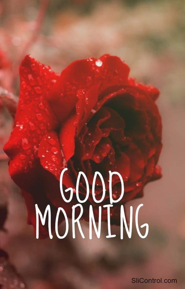 best good morning flowers rose