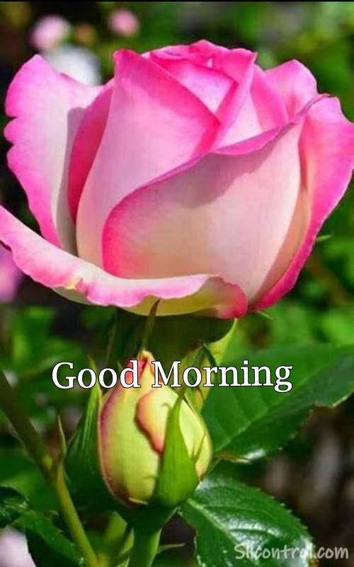 good morning lovely roses