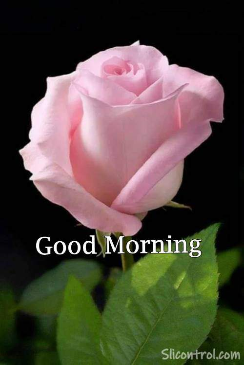 Good Morning Wishes With Rose 14