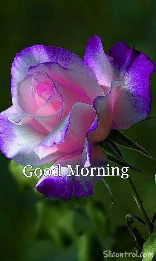 Good Morning Wishes With Rose 15