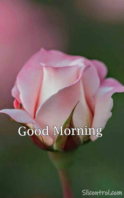 Good Morning Wishes With Rose 16