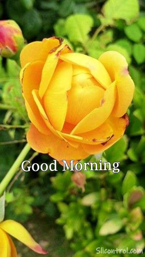 Good Morning Wishes With Rose 17