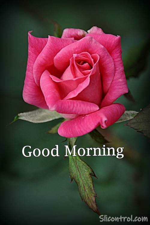 Good Morning Wishes With Rose 18