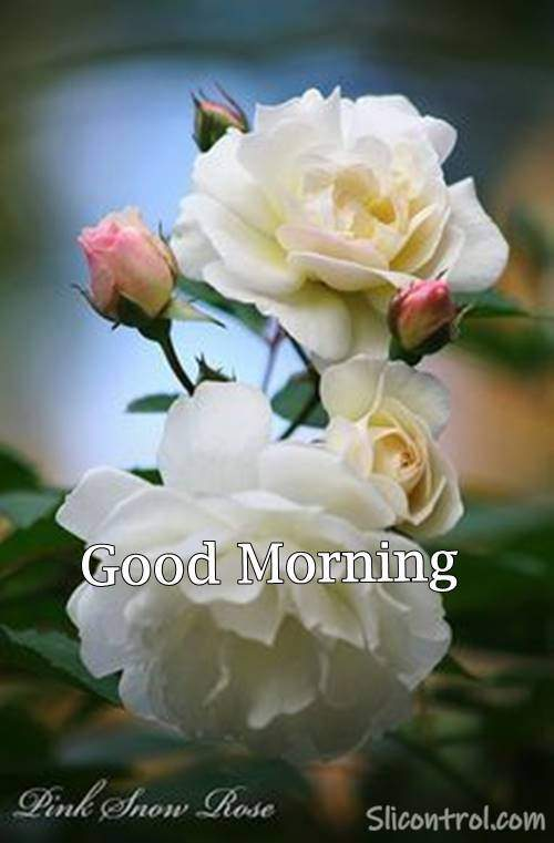 Good Morning Wishes With Rose 19