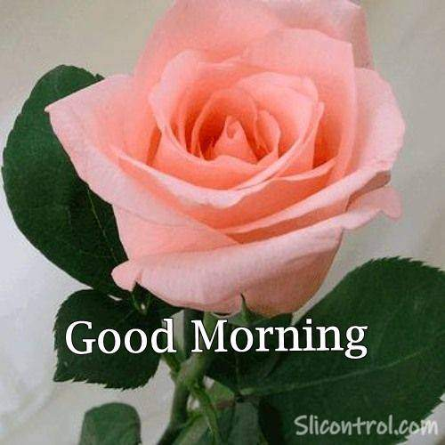 Good Morning Wishes With Rose 20