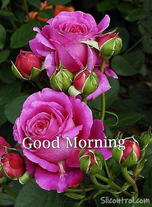 Good Morning Wishes With Rose 21