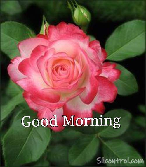 Good Morning Wishes With Rose 22
