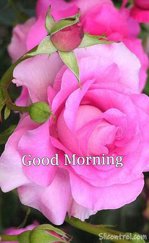 Good Morning Wishes With Rose 23