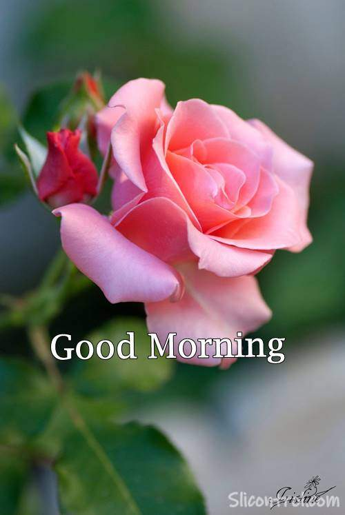 Good Morning Wishes With Rose 24