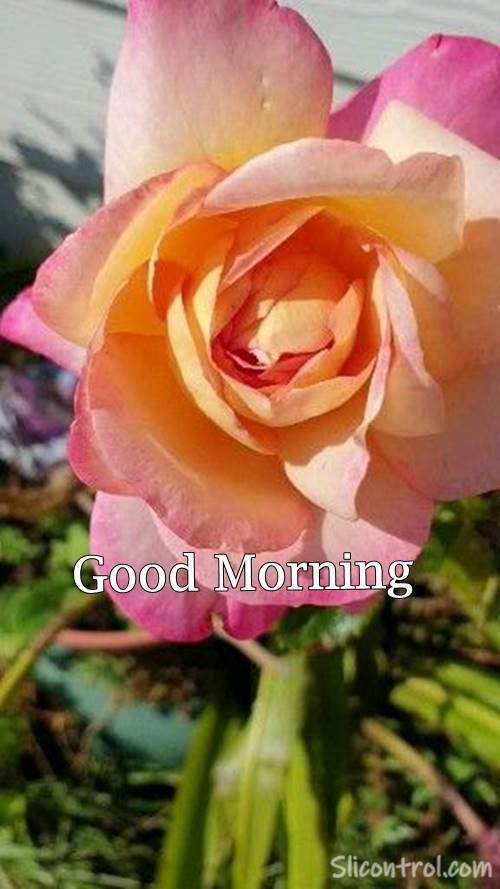 Good Morning Wishes With Rose 27