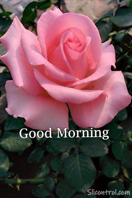 goodmorning rose image