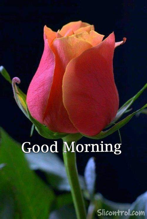red rose image with good morning