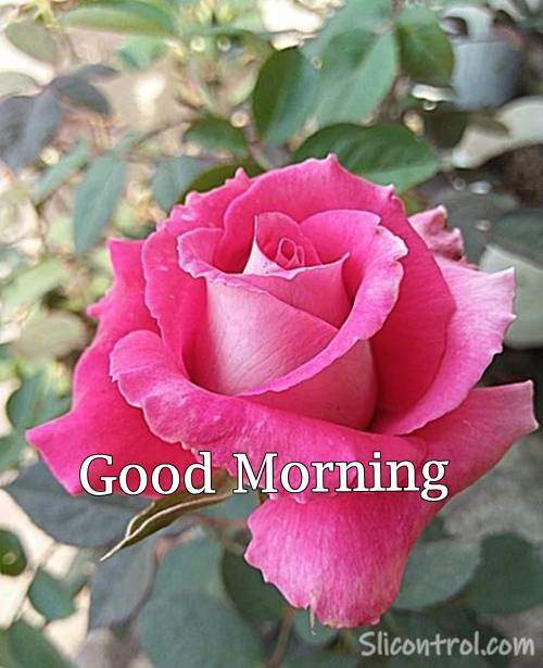 rose good morning images