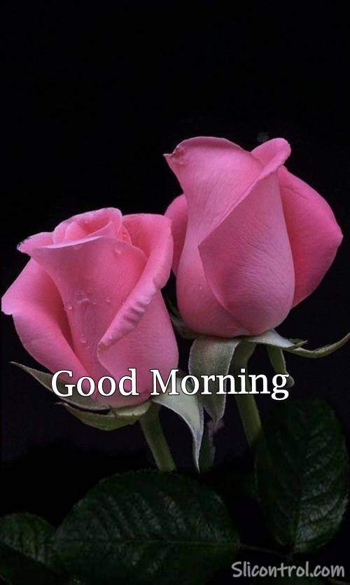 good morning rose images