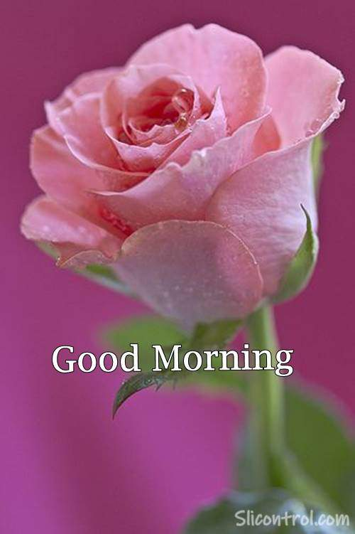 pictures of good morning roses