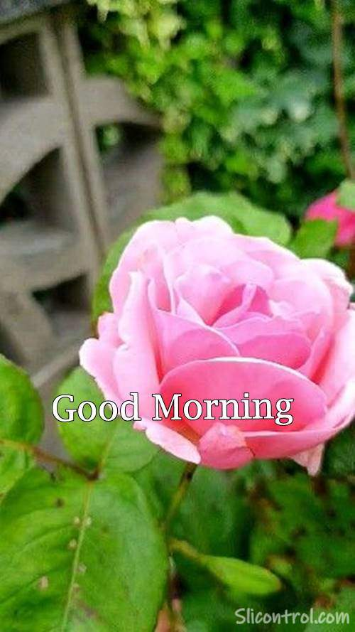 good morning rose picture