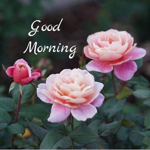 lovely good morning wishes with flowers quotes wife