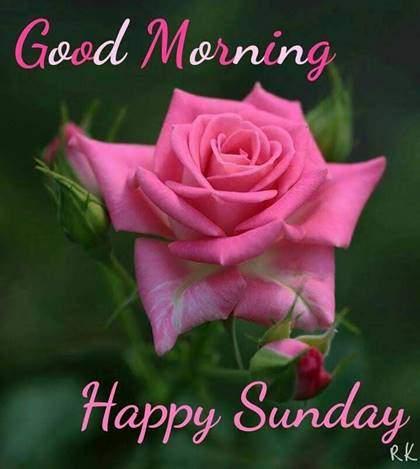Good Morning Sunday With Rose